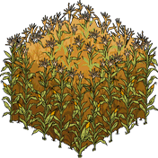 Corn Field.png